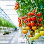 Continuing growth in the international greenhouse horticultural industry